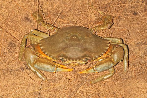 Scylla Serrata crab