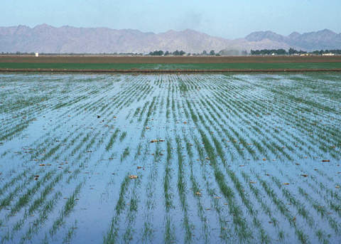 The treated water is used to irrigate agricultural fields.