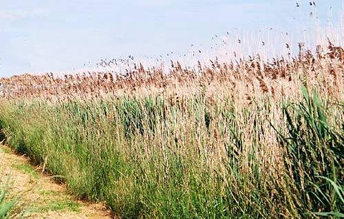 Phragmites spp. reeds are particularly effective at creating aerobic conditions within the rhizosphere zone, thus supporting the thriving microbial community required to treat the inflow.